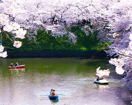 chidori-is-the-cherry-blossoms