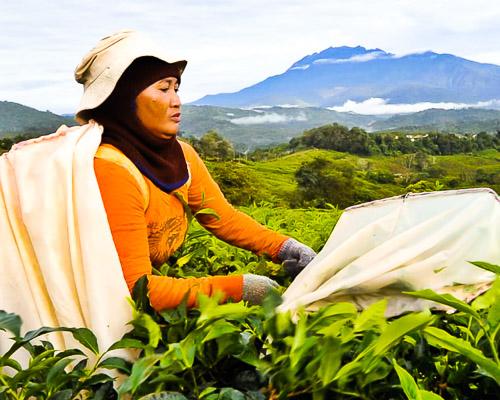 borneo-sabah-tea