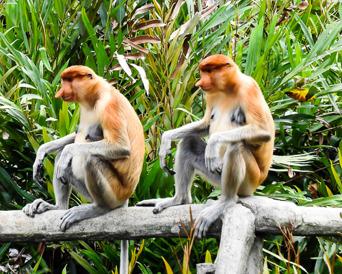 Borneo Monkeys
